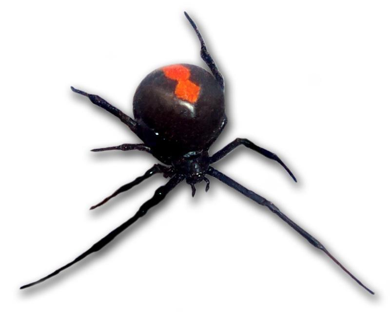 Австралийская красноспинная вдова, как и все пауки этого континента, отличается крайней ядовитостью и смертельно опасна для человека. Антидот против ее яда стоит немалых денег и не выдается правительством страны. Приходится гражданам самим покупать лекарство от отравы