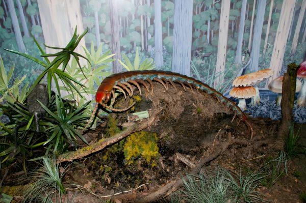 Гигантская эфоберия достигала 1 метра в длину. Ученые до сих пор спорят, чем могла питаться сороконожка. Однако проводя параллели с современными видами этих существ складывается мнение, что ела она некрупных животных