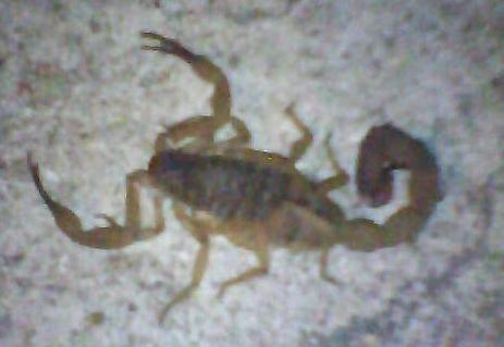 Интересно, что этот вид скорпионов размножается партеногенезом. Тое есть у Tityus serrulatus нет самцов, а только самки, которые оплодотворяют сами себя