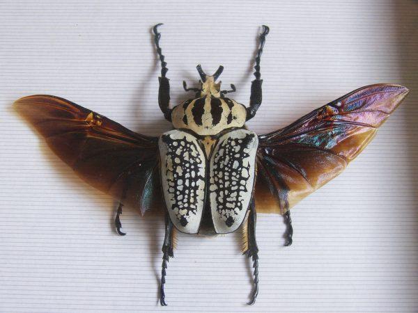 Окраска жука черная с белым рисунком на надкрыльях. Интересно, что голиаф может летать, не раскрывая надкрыльев. Это особенность всего семейства бронзовок