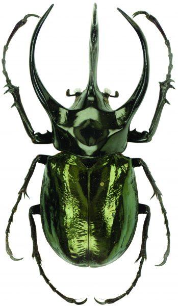 Самки жука-атласа достигают всего 4 сантиметров в длину и выглядят невзрачно на фоне самцов. На фото изображена мужская особь. Хорошо видно длинный центральный рог и небольшие боковые наросты