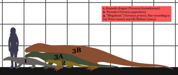 Схематичное сравнение размеров современных ящериц, человека и мегалании. Видимо в свое время люди вполне могли бы стать одним из блюд в рационе древнего гиганта