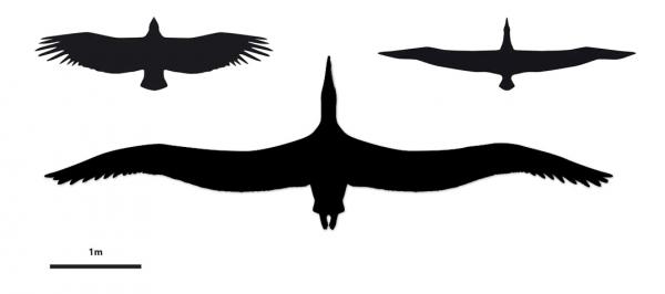 Сравнение размаха крыльев пелагориса и современных птиц. Слева на картинке силуэт гигантского кондора, справа – странствующий буревестник