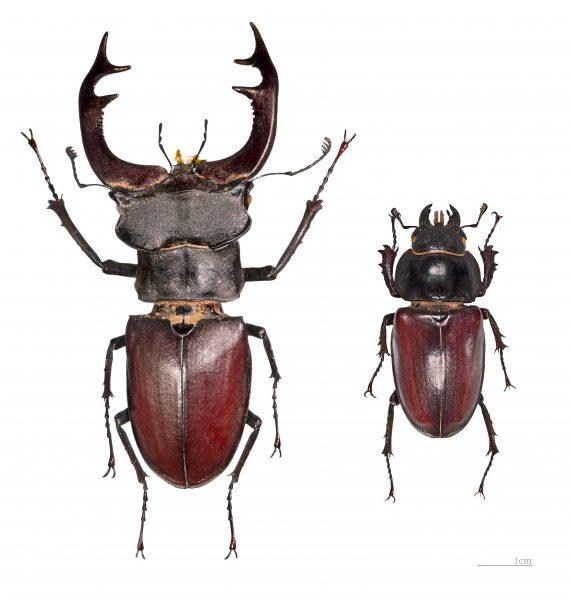 Жук-олень: справа – самка, слева – самец. У мужской особи более развиты передние мандибулы и больший размер тельца. Иначе как бы он таскал на голове подобную прелесть